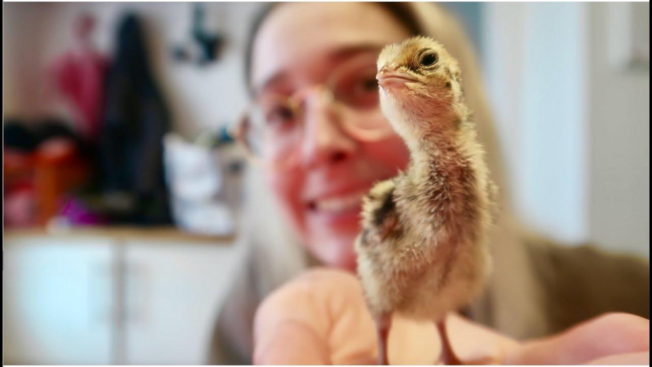 I hatched 24 quails
