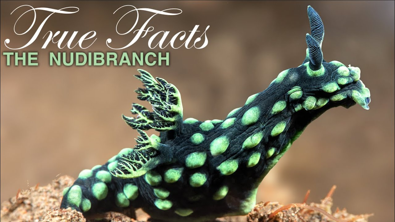 True Facts: Freaky Nudibranchs