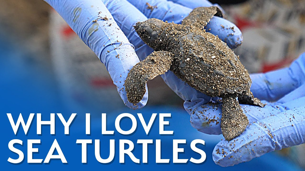 Why I Love Sea Turtles (They're AMAZING) – Smarter Every Day 239