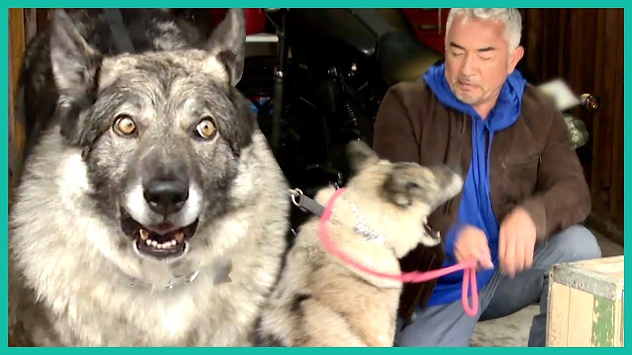 Agressive German Shepherd BITES Cesar Millan | Cesar 911