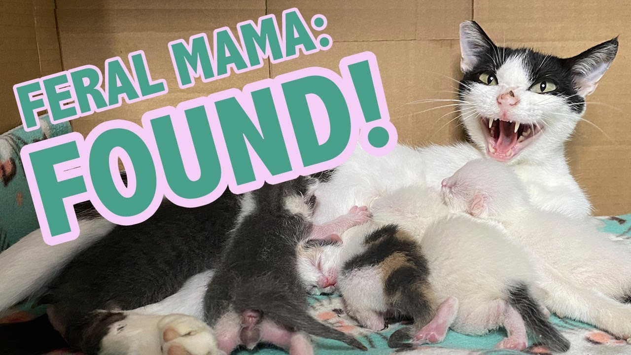 Mama Cat: FOUND! Reuniting orphan kittens with mama (first 4 days together.)