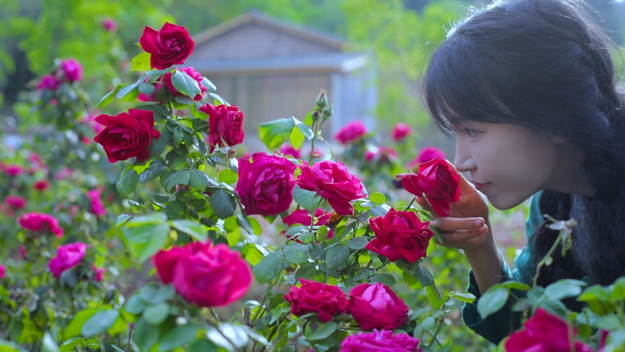 The life of roses.玫瑰花的一生。