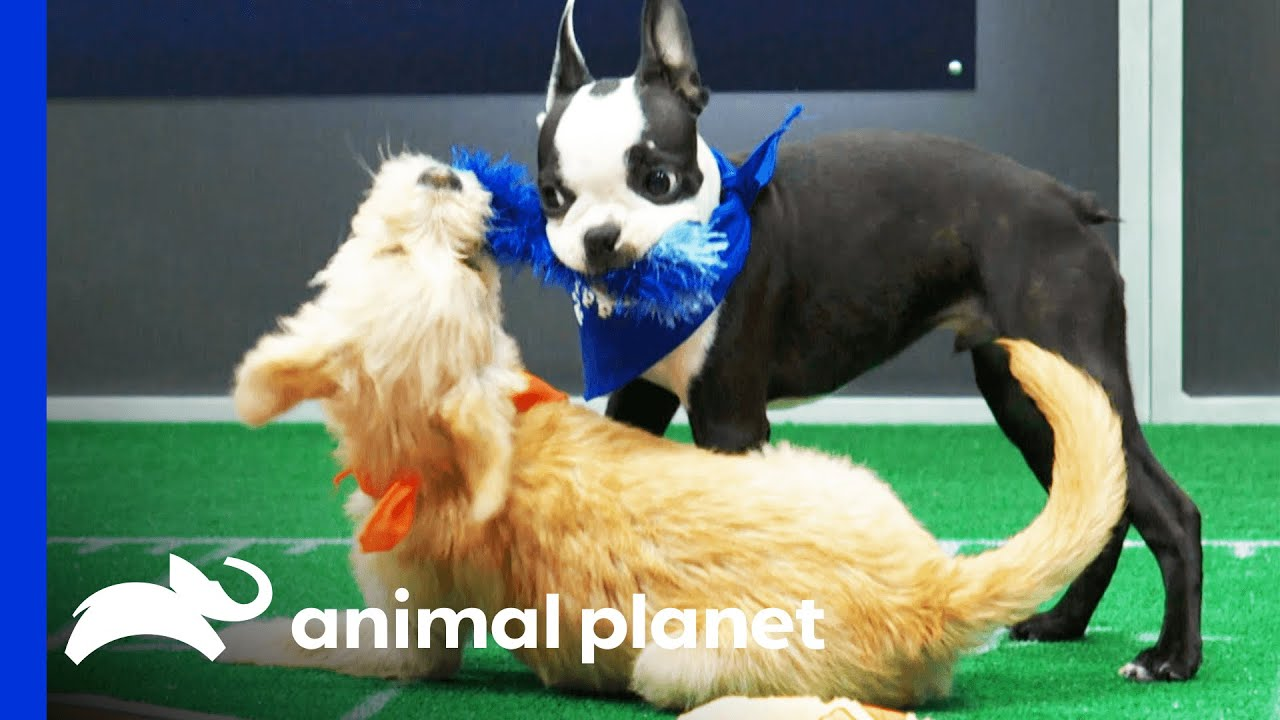 The First Touchdown of Puppy Bowl XVII!